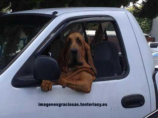 un perro a bordo de un coche en posición de conductor