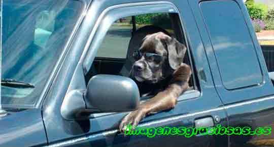 peero al volante de un auto