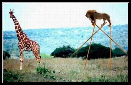 foto graciosa con un leon listo frente a una girafa